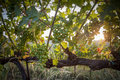Sunset on the grapes a a grapevine valley in italy Stock Photography