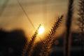 Sunset grass flower with sunset light background closeup Stock Photography