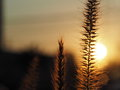 Sunset grass flower with sunset light background closeup Stock Photography