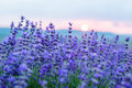 Sunset in a lavender field in a Summer Royalty Free Stock Photo
