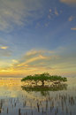 Sunset and Mangrove tree Royalty Free Stock Photo