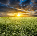 Sunset over blooming white field Royalty Free Stock Photo