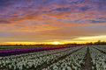 Sunset over a dutch flower field with hyacinth Royalty Free Stock Photo