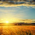 Sunset over field with barley Royalty Free Stock Photo