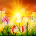 Sunset over field of colorful tulip eps flowers blooming and also includes vector Royalty Free Stock Images