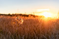 Sunset over the Field of Wheat. Evening Sky and sunlight. Royalty Free Stock Photo