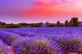 Sunset over lavender field in Provence Royalty Free Stock Photo