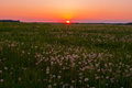 Sunset over the meadow with white dandelions Stock Photos