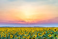 Sunset over a rural plain with blossoming field of sunflowers Royalty Free Stock Photo