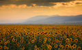 Sunset over a sunflower field Royalty Free Stock Photo