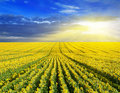 Sunset over sunflower field summer landscape Stock Photo