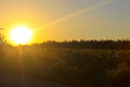 Sunset over sunflowers field Royalty Free Stock Photo