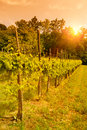 Sunset over vineyard tranquil landscape in prosecco region veneto italy Stock Photography