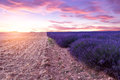 Sunset over a violet lavender field in Provence Royalty Free Stock Photo