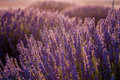 Sunset Over Violet Lavender Field in Turkey Royalty Free Stock Photo