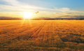 Sunset over wheat field a Stock Images