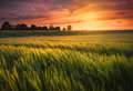 Sunset over wheat fields Royalty Free Stock Photo