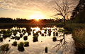 Sunset over wild swamp with dry tree Royalty Free Stock Photo