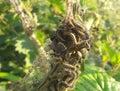 Sunset peacock and tortoiseshell caterpillar eating stinging nettle stock image welsh cottage garden Stock Image