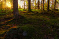 Sunset in pine forest with moss covering the floor during early summer sweden Royalty Free Stock Image