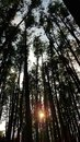 Sunset in a pine forest through the trees