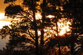 Sunset through pine trees Royalty Free Stock Photo