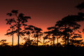 Sunset and Pine Trees Royalty Free Stock Photo