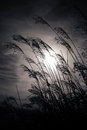 Sunset plant silhouette monochrome picture Royalty Free Stock Photography
