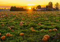 Sunset in Pumpkin Patch Royalty Free Stock Photo
