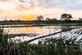 Sunset at rice fields Royalty Free Stock Photo