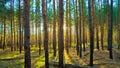 Západ slnka v škótsky borovica les