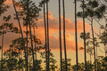 Sunset silhouette throught the pines through slash in everglades Royalty Free Stock Images