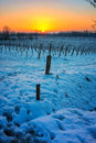 Sunset on snowy vineyard Royalty Free Stock Photo