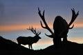 Sunset stag elk at west coast south island new zealand Stock Image