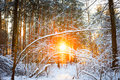 Sunset Sunrise Sun Sunshine In Sunny Winter Snowy Coniferous Forest Royalty Free Stock Photo
