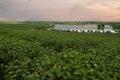 Sunset Tea Plantation Royalty Free Stock Photo