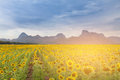 Sunset tone over big sunflower field Royalty Free Stock Photo