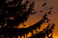 Sunset view of a fir tree and birds flying Royalty Free Stock Photo
