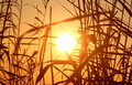 Sunset view on through reed Royalty Free Stock Photo