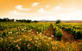 Sunset in Vineyard Royalty Free Stock Photo