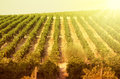 Sunset on vineyards general landscape of in a beautiful Royalty Free Stock Photo