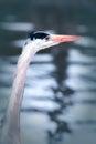 Sunset wading bird. Heron watches the waters edge. Royalty Free Stock Photo