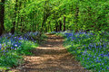 Sunshine Dirt Path through Badby Bluebell Wood Hyacinthoides non-scripta Royalty Free Stock Photo