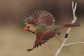 Sunshine girl northern cardinal female flight on a sunny january day central texas Stock Photos