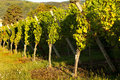 Sunshine on grapevines Stock Images