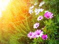Sunshine over flower field Royalty Free Stock Photos