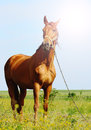 Sunshine portraiit of a brown horse standing in field alone summertime Royalty Free Stock Image