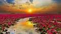 Sunshine rising lotus flower Royalty Free Stock Photo
