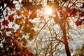Sunshine Shining through the Tops of the Maple Tree Leaves Royalty Free Stock Photo