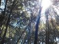Sunshine through  the  trees Royalty Free Stock Photo